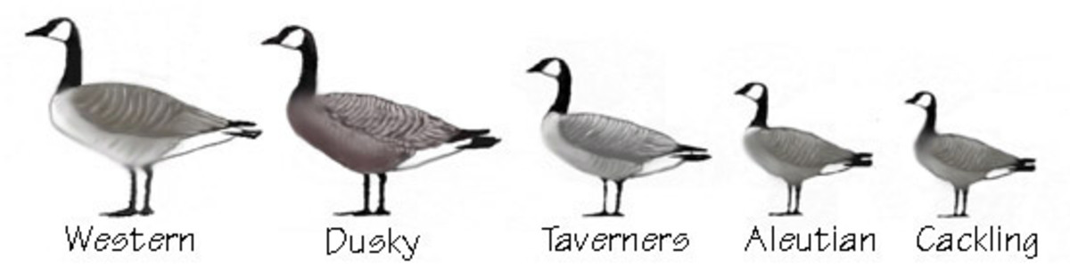 Geese identified by size