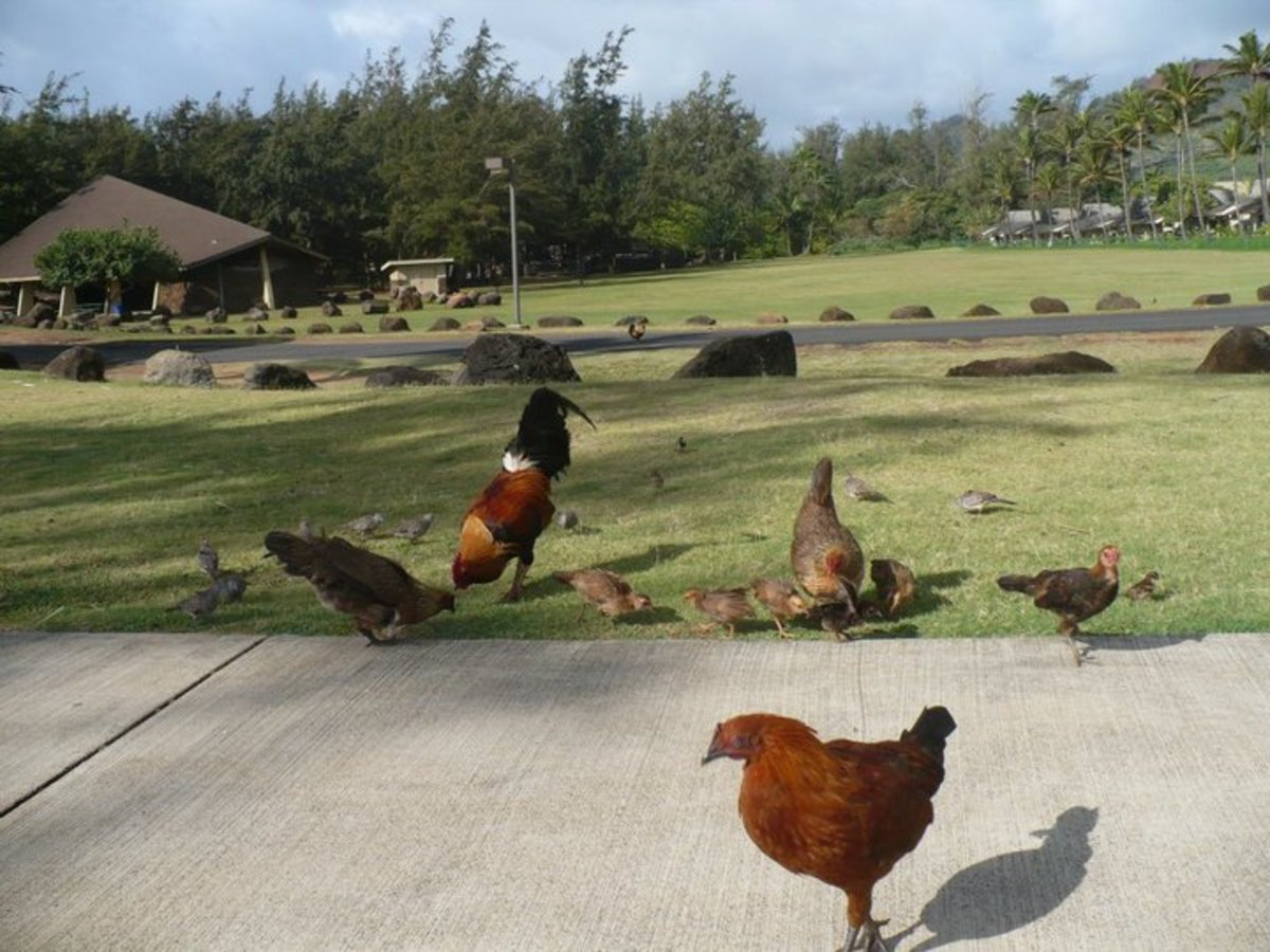 Some of Kauai's feral chickens at Lydgate Beach Park