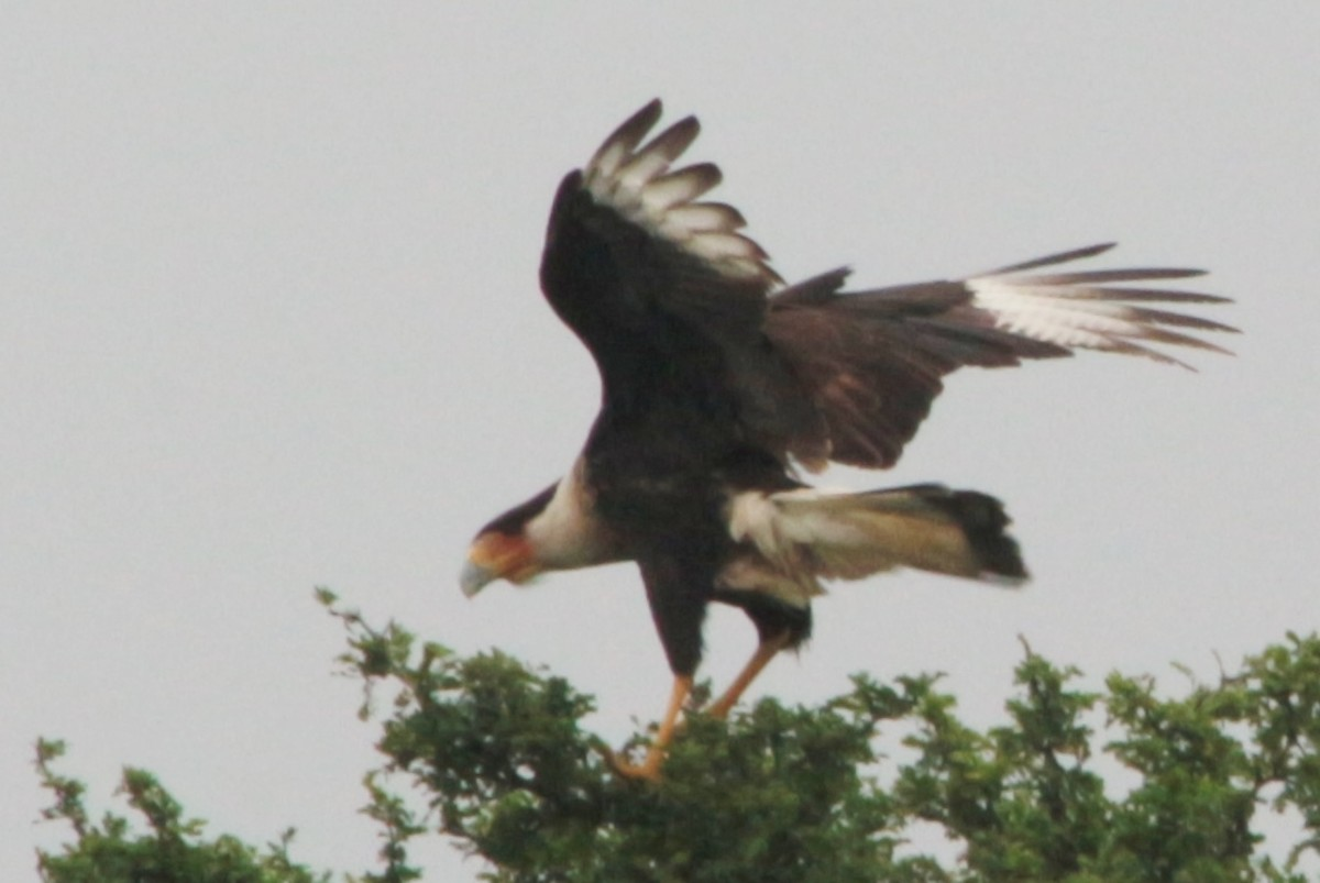 Northern Crested Caracara found outside Roma Texas.