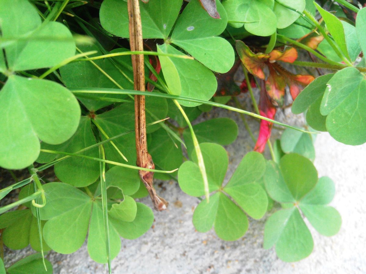 Health Benefits of Oxalis Corniculata - Puliyarila