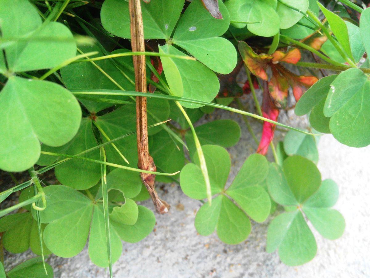 Health Benefits of Oxalis Corniculata - Puliyarila
