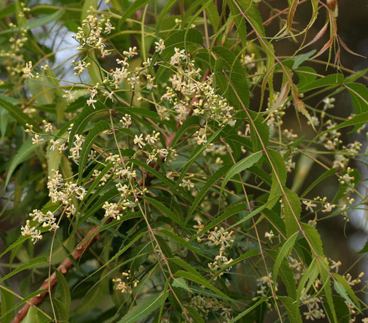 Neem leaves with small white flowers