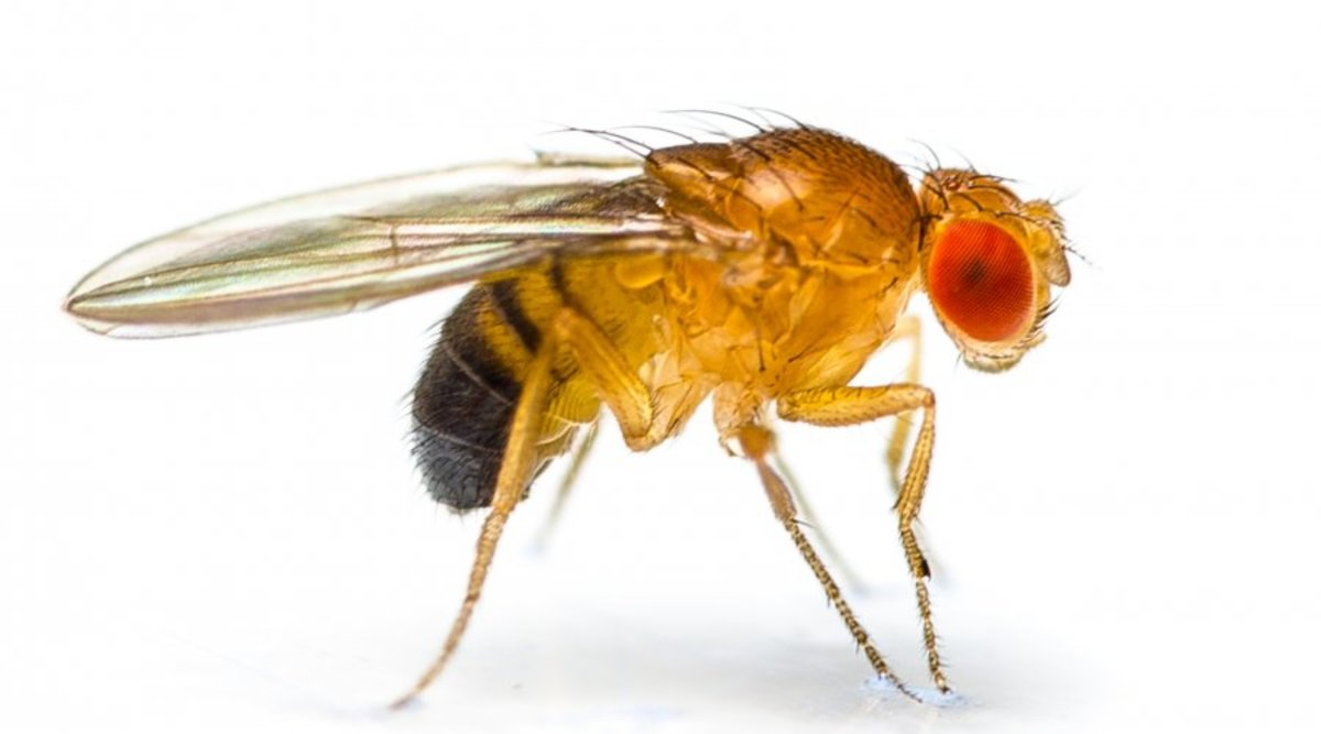 Fruit Fly (Up Close and Personal)