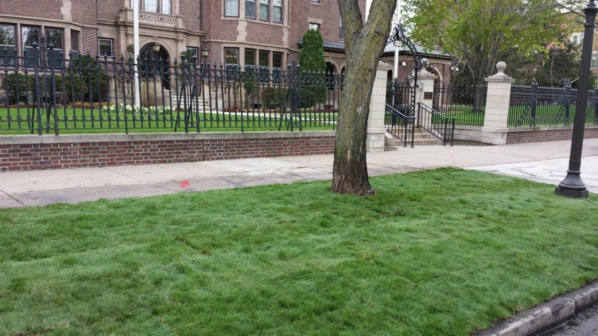 Creeping Red Fescue Grass