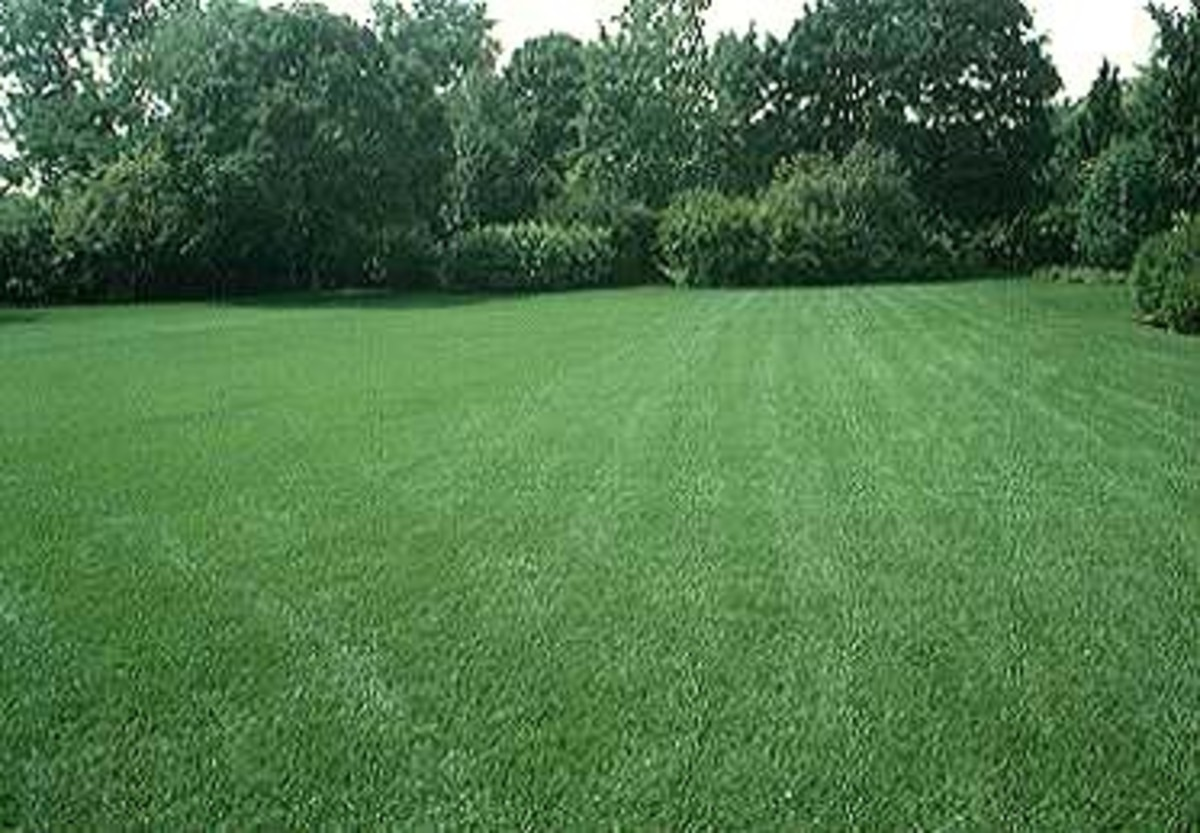 What is turfgrass types of turfgrasses hubpages for Best grass for garden