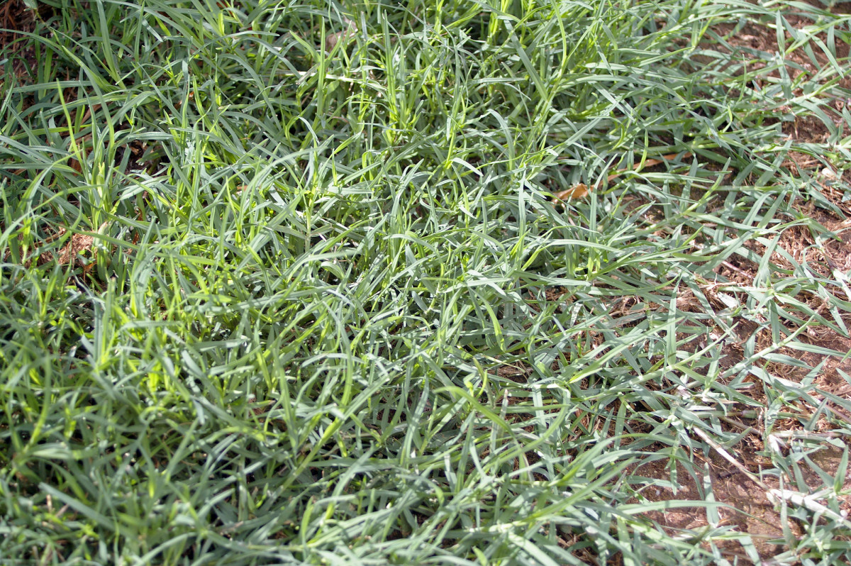 What Is Turf Grass - Types of Turf Grasses