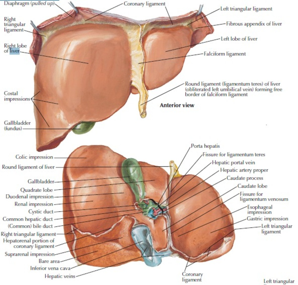 The liver is a multifunctional organ and drugs cause liver injury by many different mechanisms.