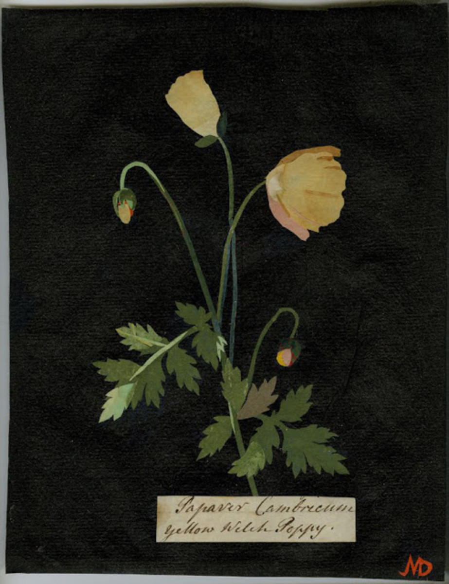 Yellow Welch Poppy