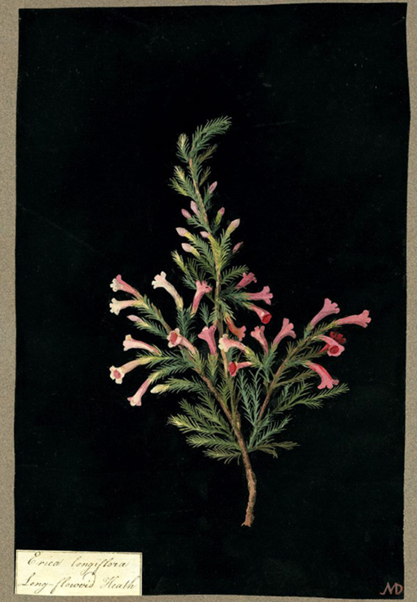 Long-flowered Heath