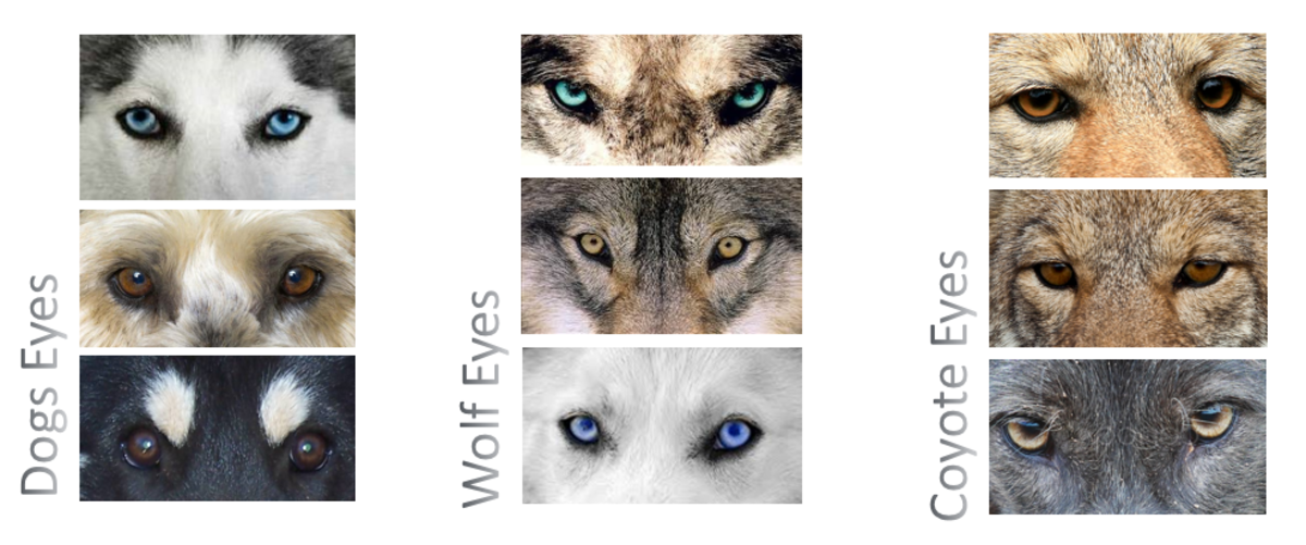 DOG's eyes VS WOLF and COYOTE eyes