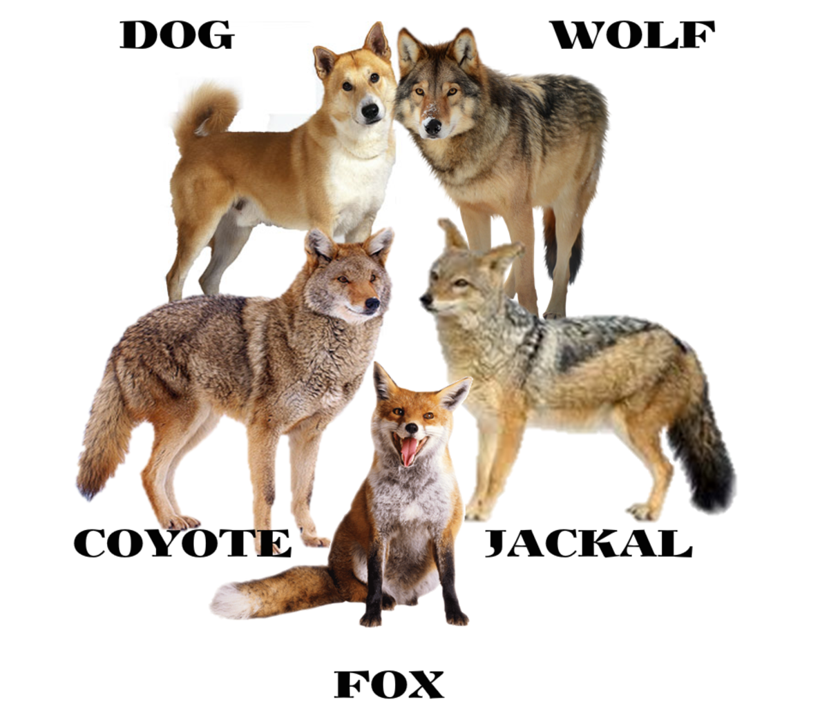 Difference Between Dog, Wolf, Jackal, Coyote and Fox.