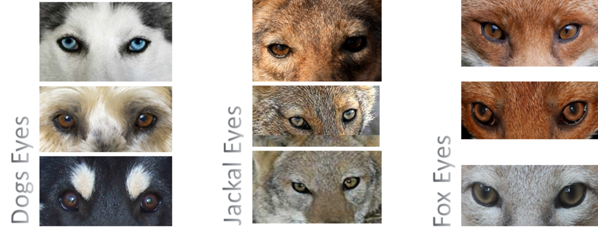 DOG's eyes VS JACKAL and FOX eyes