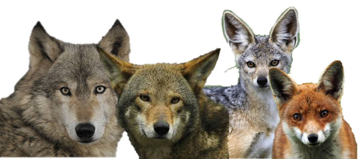 WOLF, Coyote, Jackal, Fox Ears