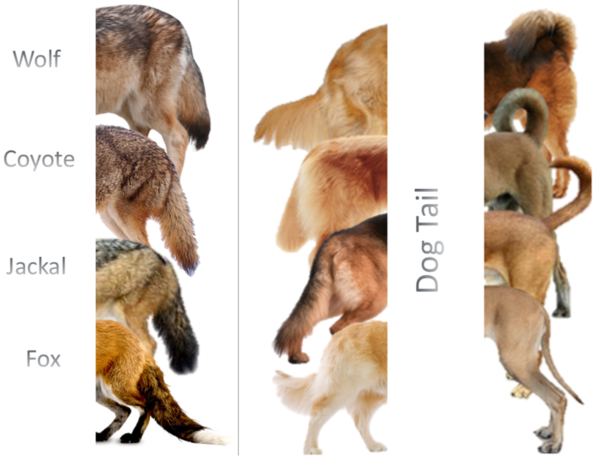 Dog tail Vs rest of canidae family members