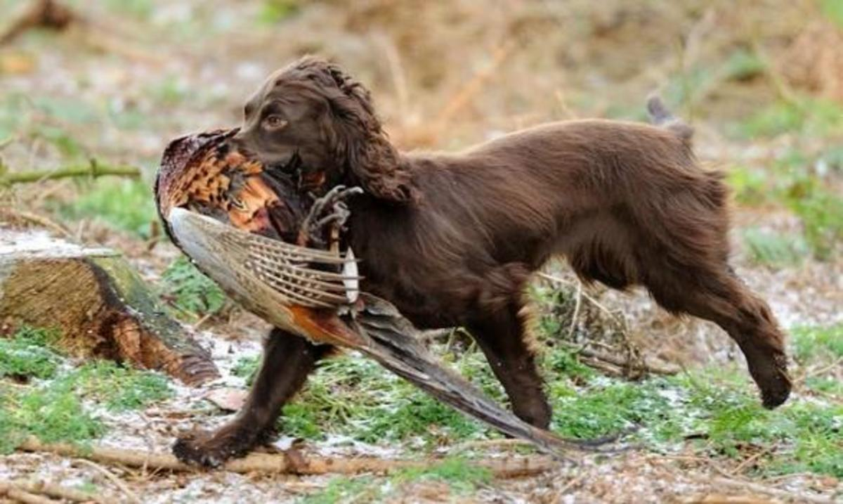 Cocker Spaniel Hunting