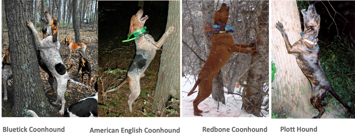 Category of Coonhounds