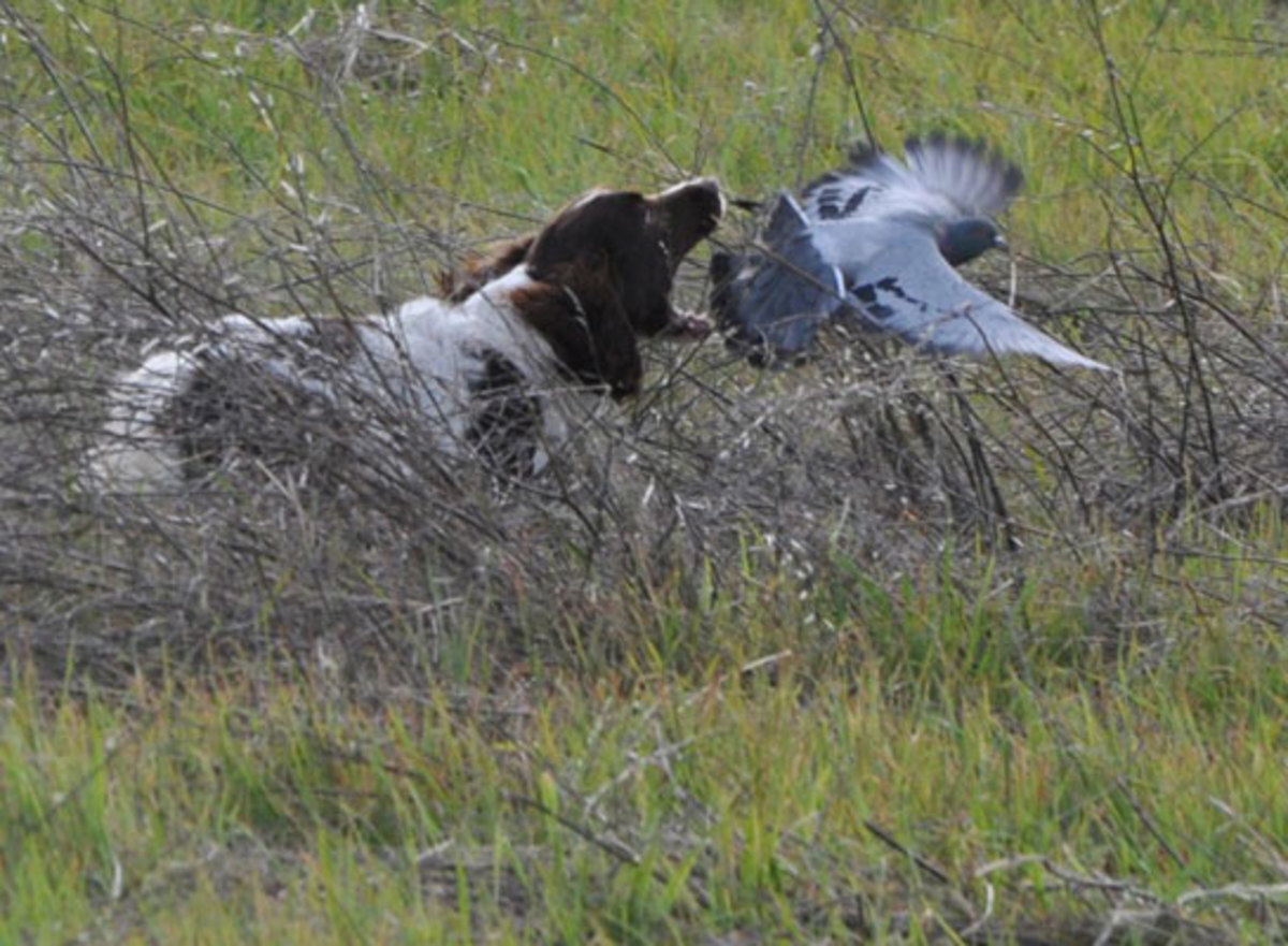 Hunting English Springer Spaniel