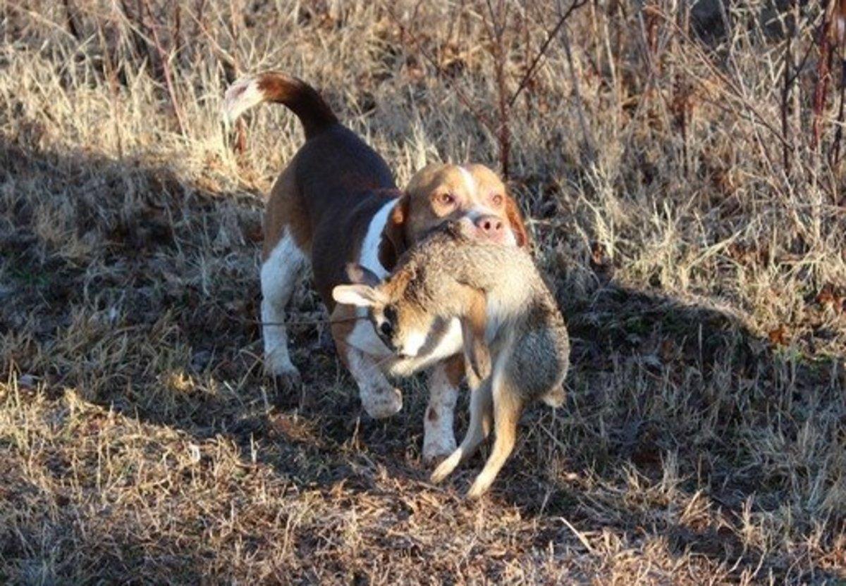 Beagle Hunting