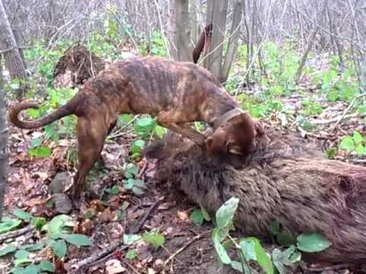 Hunting Boar With Plott Hound