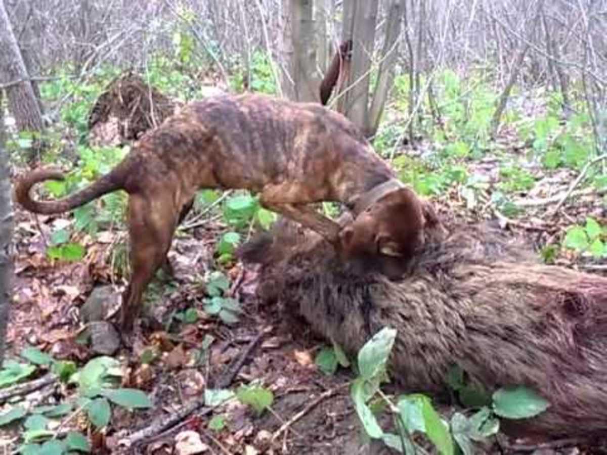 Hunting Boar With Plott Hound