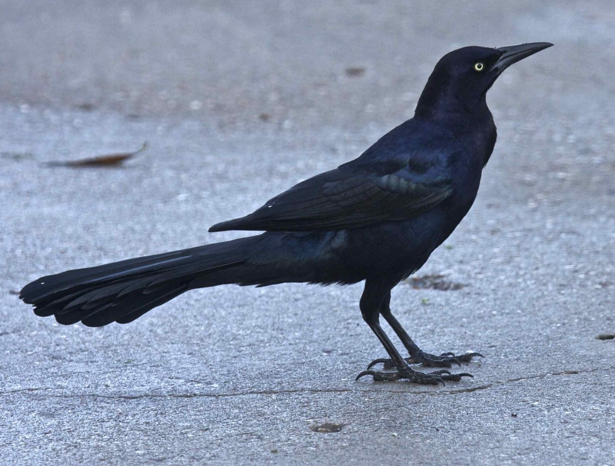 In contrast to its peaceful Icterid cousin the Brewer's Blackbird, the Great Tailed Grackle, common in desert communities of the American Southwest, gives off an angry vibe.