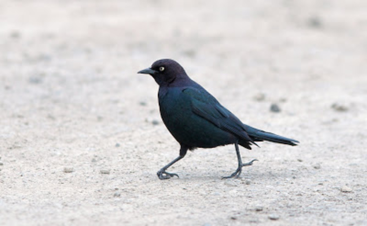 A Brewer's Blackbird suffering from its common foot malady.