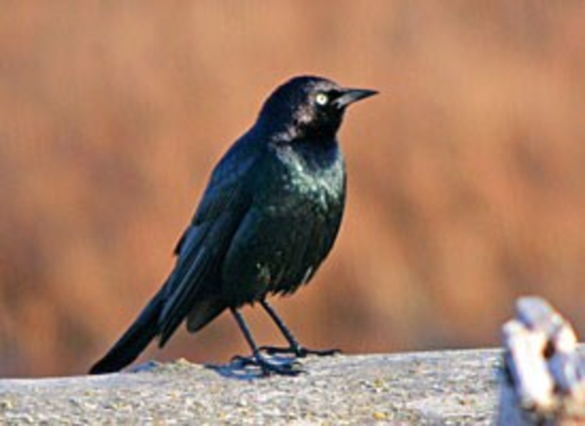 The Brewer's Blackbird is an inquisitive sort that seems naturally attracted to humans and their activities.