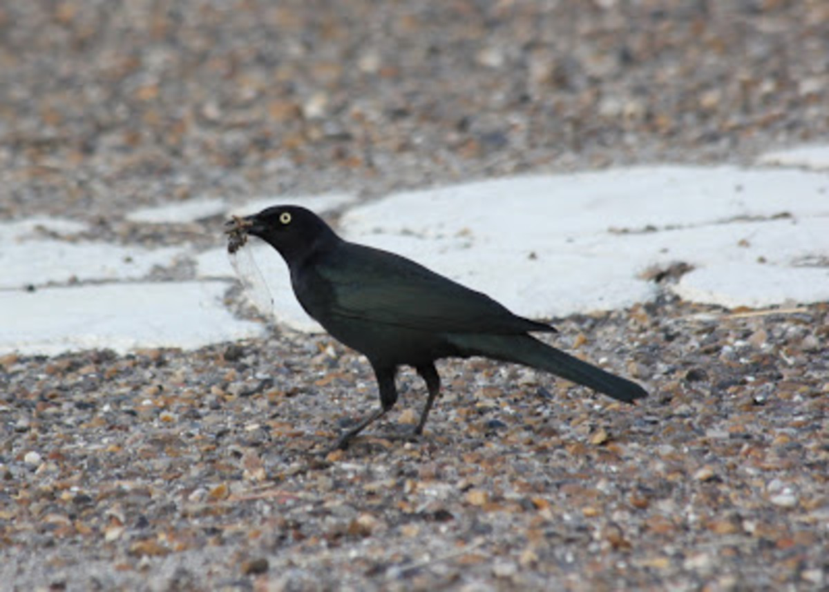 Brewer's Blackbird - Unsung Hero of the Parking Lot