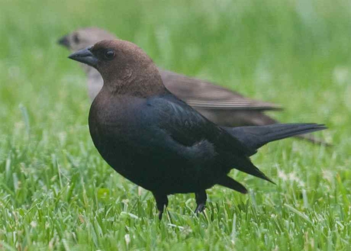 This Brown-headed cowbird even looks surly, and unlike its humble Icterid cousin the Brewer's Blackbird, won't ask permission to steal part of your lunch.