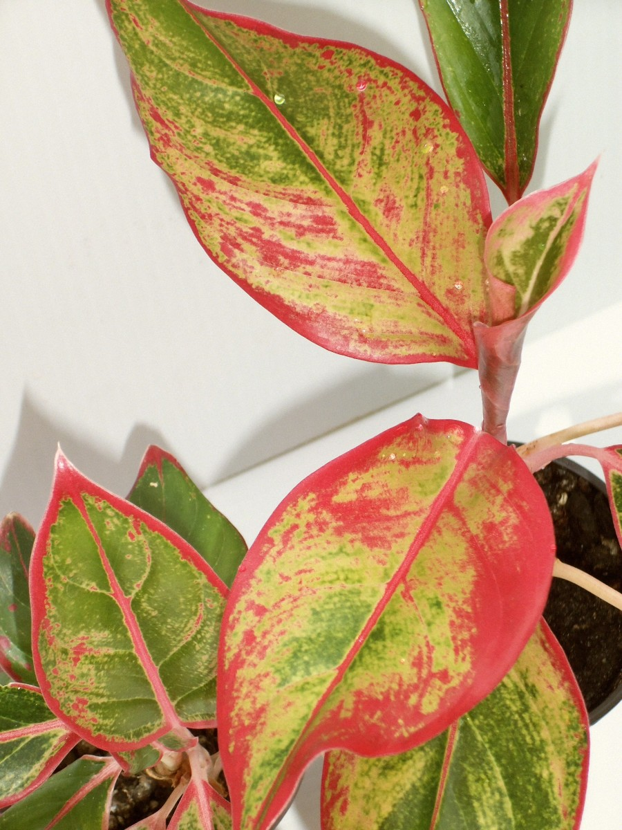 Aglaonema Crete in summer