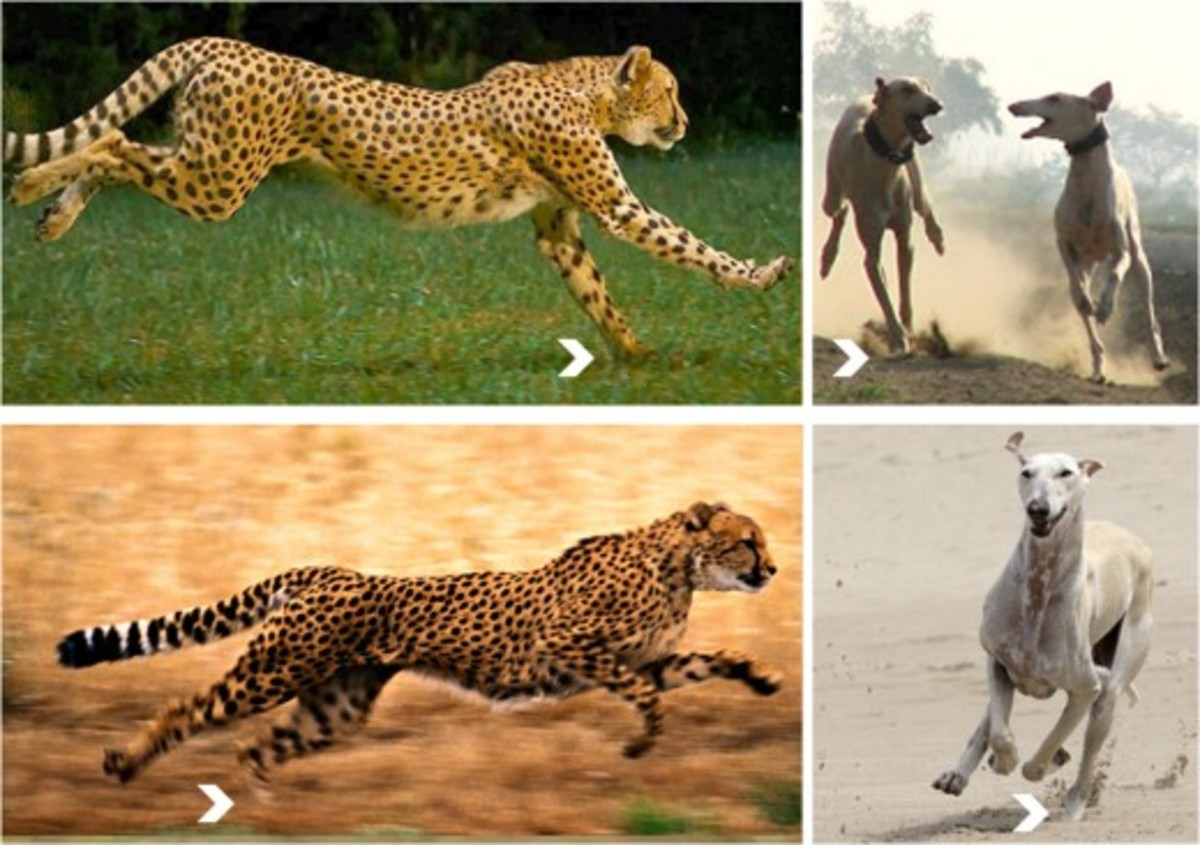 Carvan Hounds speed and chasing is compared with Cheetah.