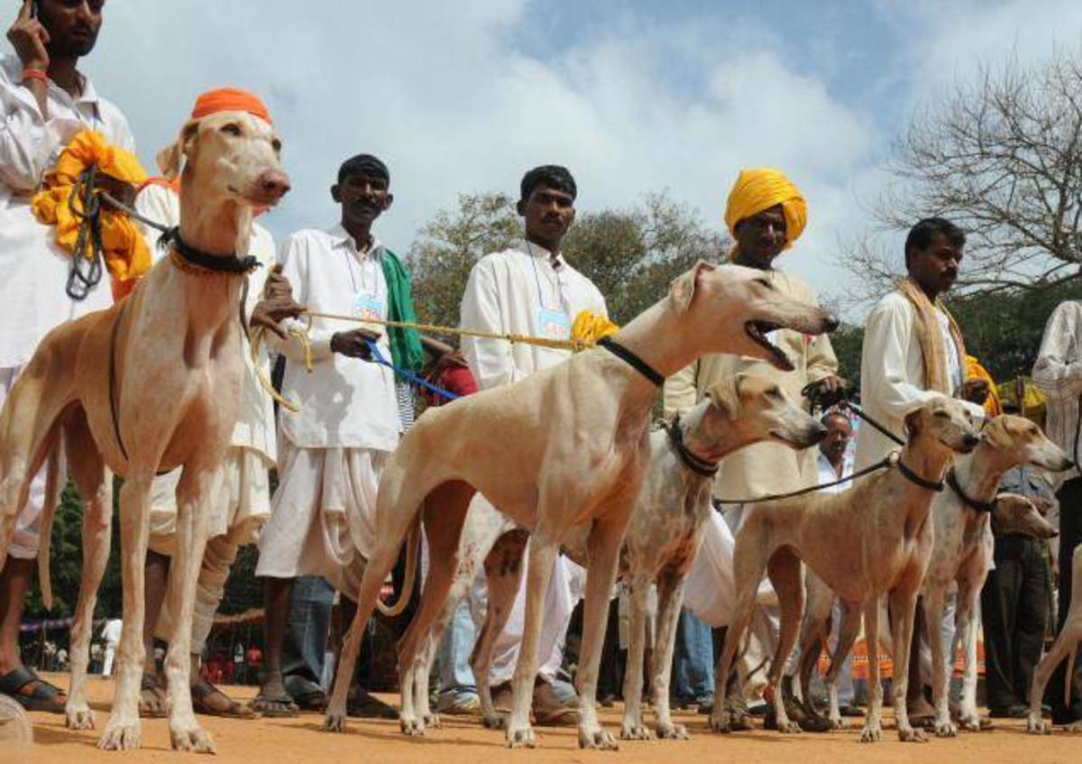 Hunting Dogs Of India