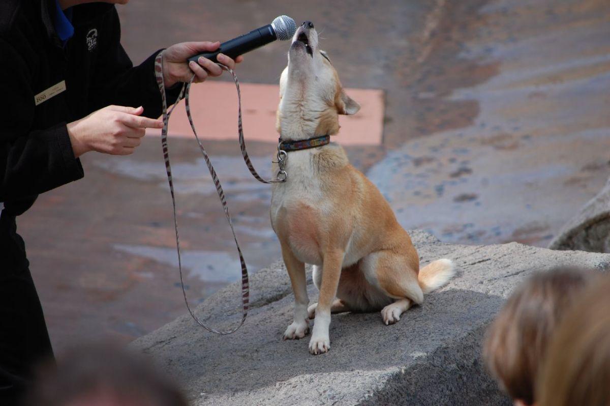 New Guinea Singing Dog  (The Oldest Dog Breed)