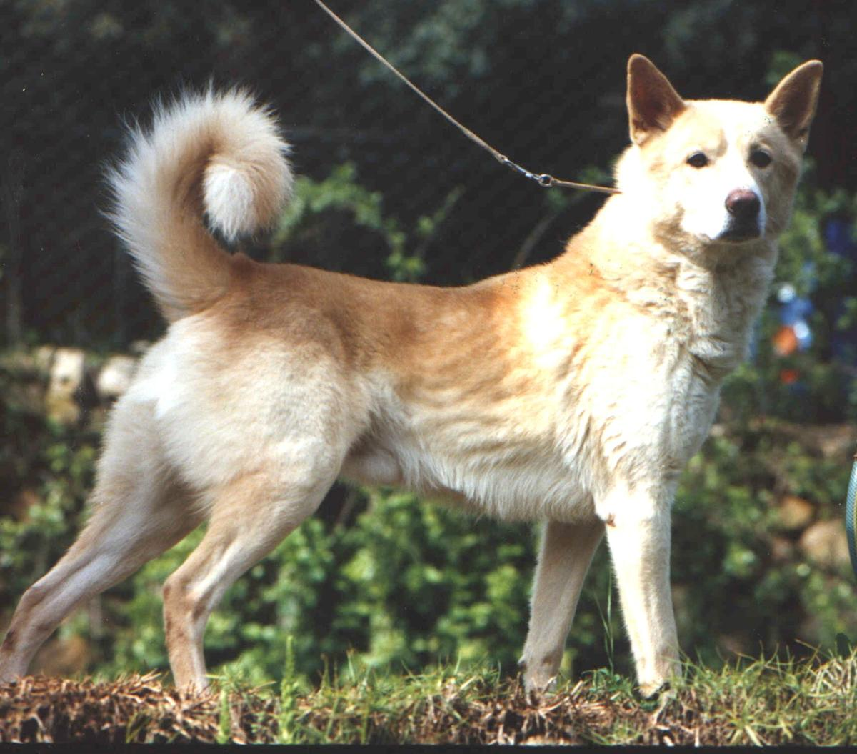 The Canaan Dog, New Guinea Singing Dog