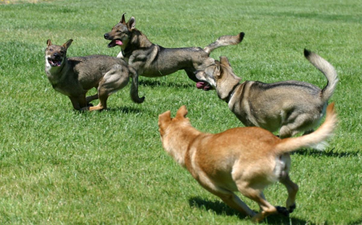 www.californiacarolinadogs.com