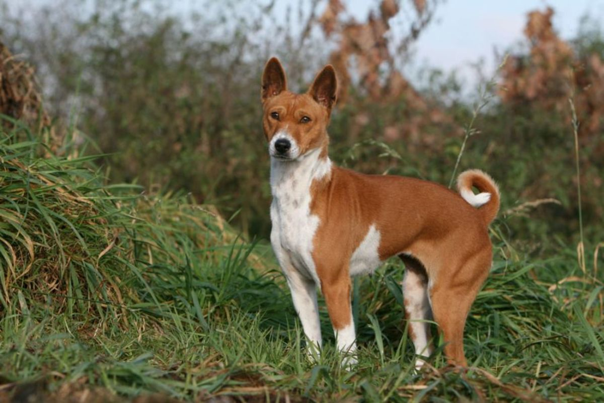 Basenji Dog (The Oldest Dog Breed)