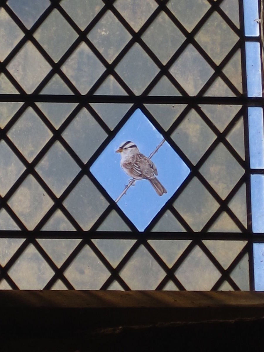 White-crowned Sparrows inspire art.  This is a stained glass depiction of a WC at St. Margaret's Church, Cley Next the Sea, Norfolk.