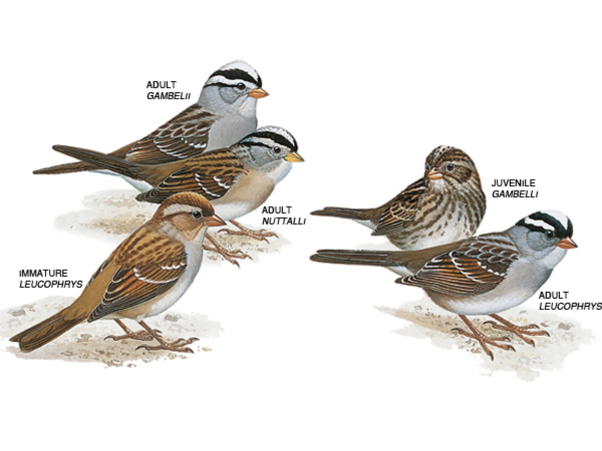 White-crowned Sparrows Sing The Sad Song of Winter | hubpages