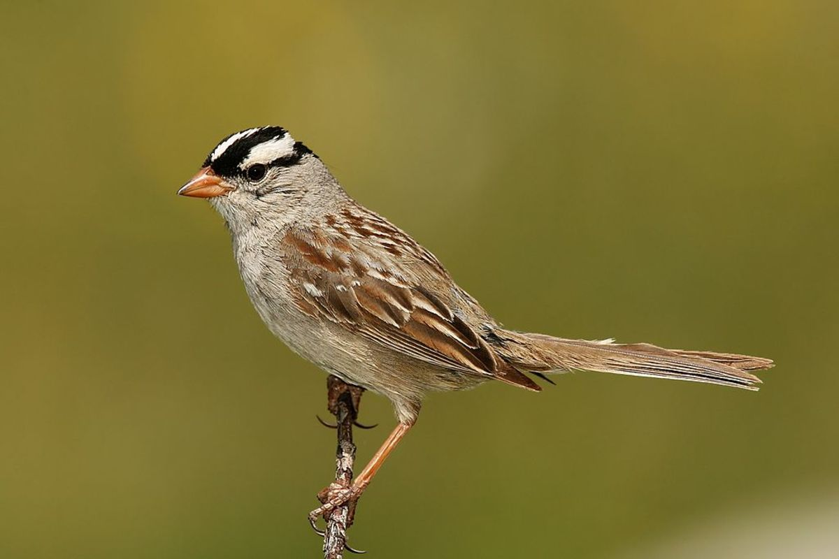 White-crowned Sparrows Sing The Sad Song of Winter