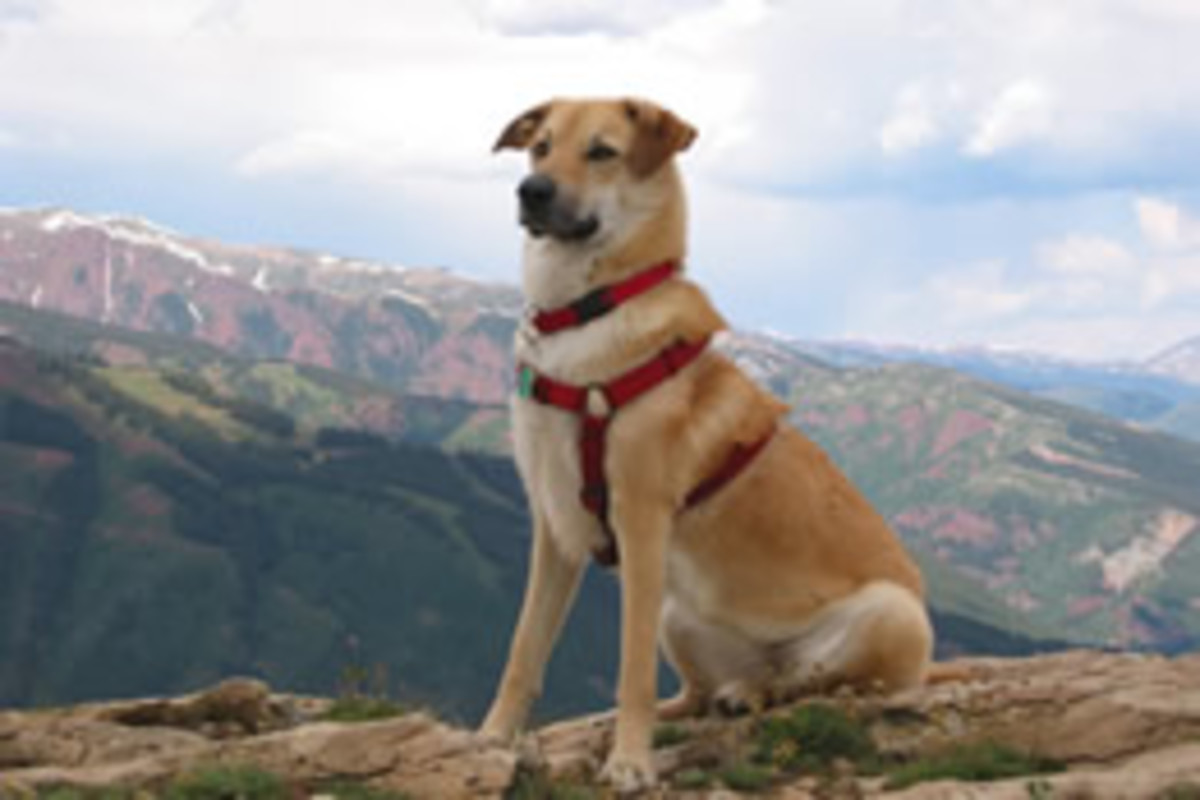 20-newest-akc-recognized-dog-breeds