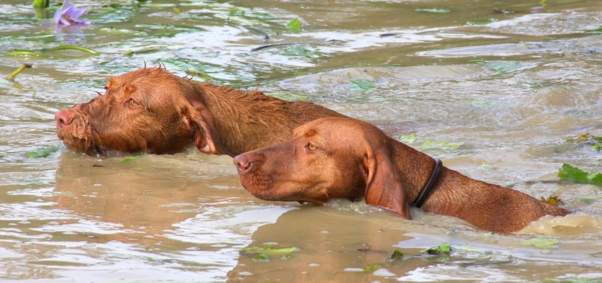 Wirehaired Vizsla (Without collar) and Vizsla (With black collar)