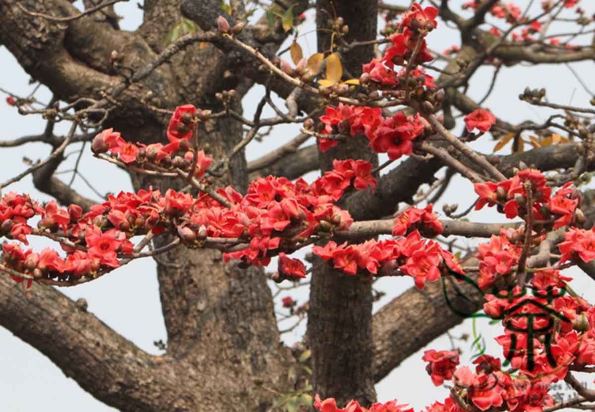 the-semal-tree-the-bombax-tree