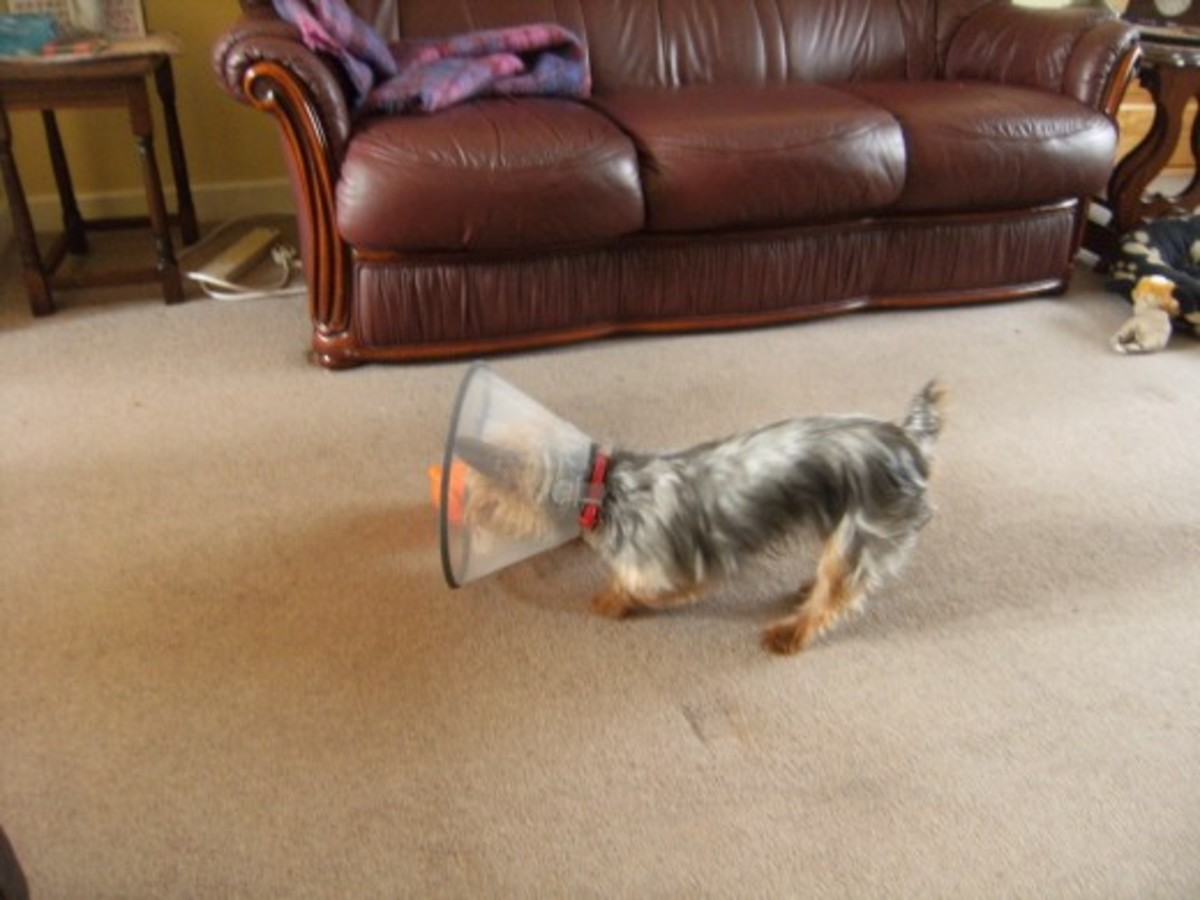 Dog playing after having spaying surgery