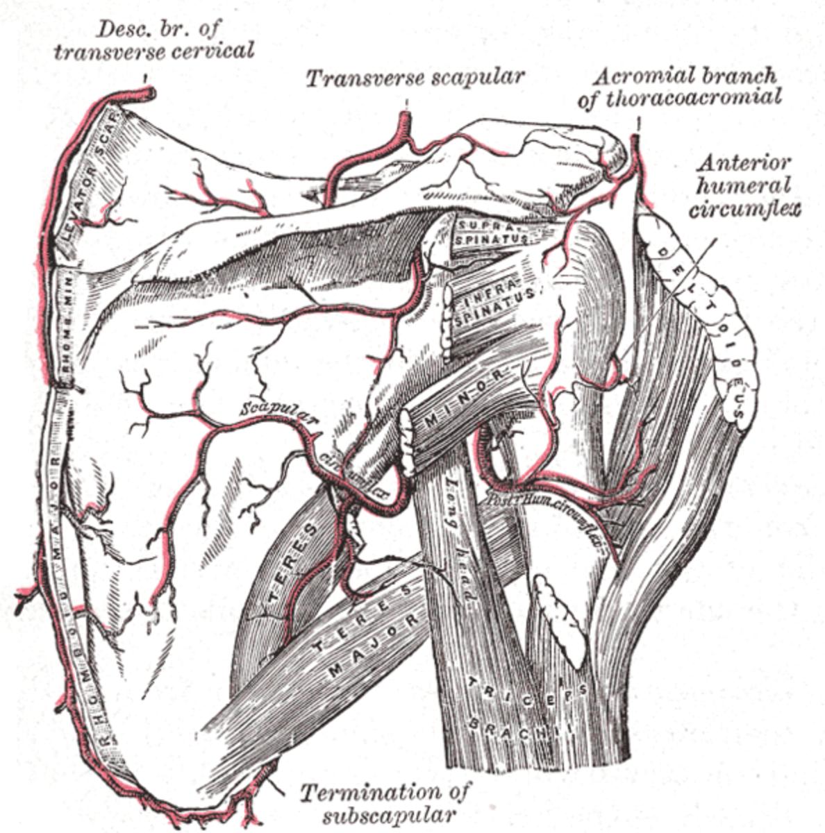 Rhomboid major and rhomboid minor muscles