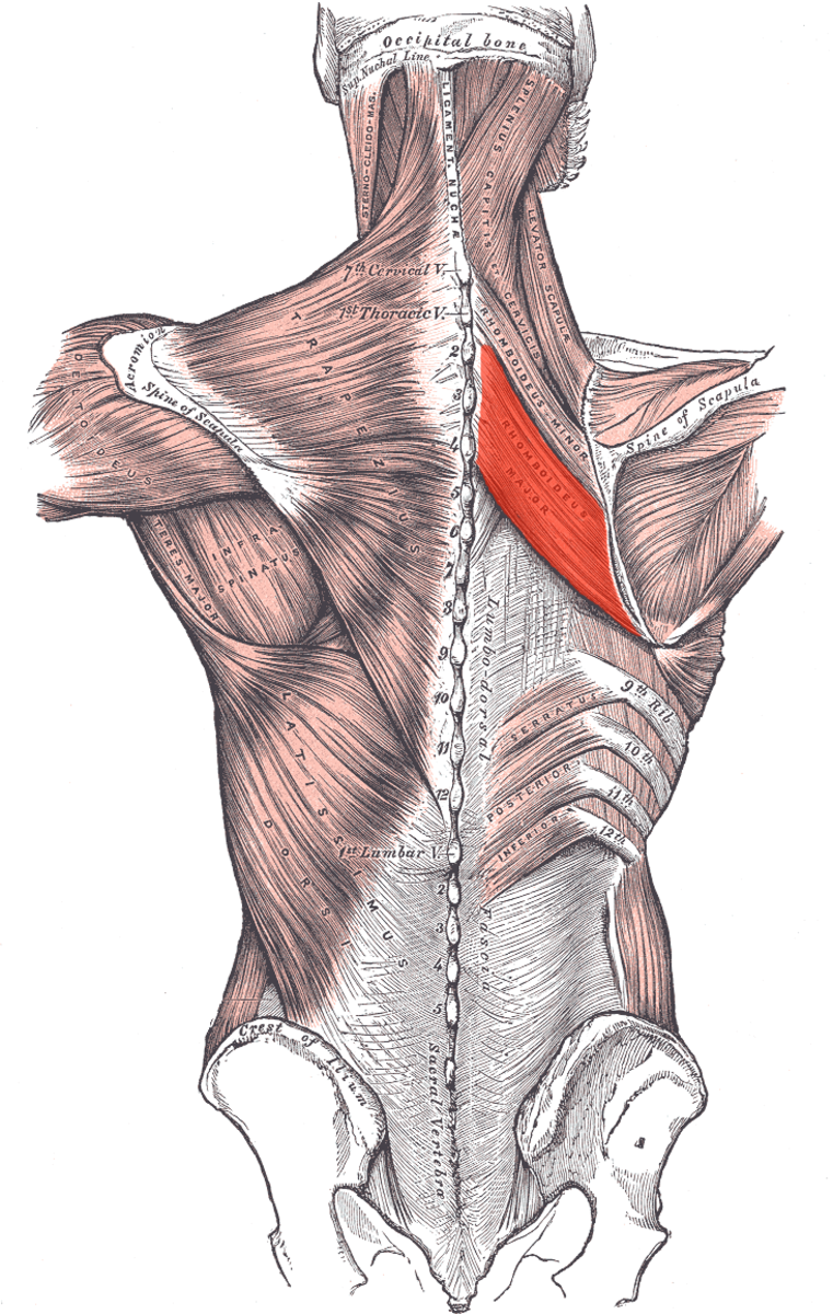 Everything You Need to Know About Rhomboid Strain