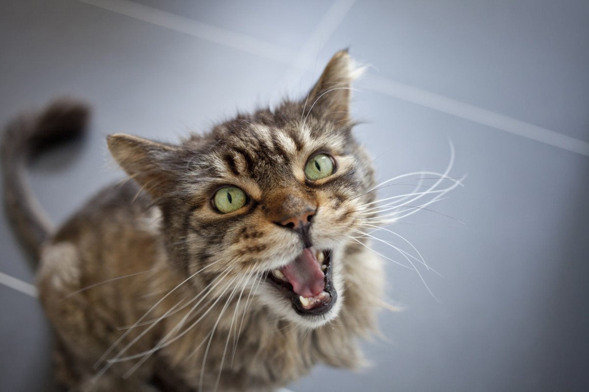 the-worlds-most-annoying-cat