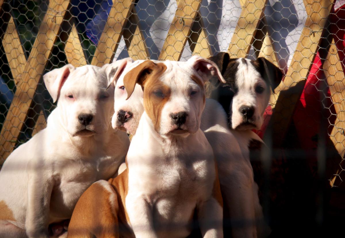 most-dangerous-pets-exotic-animals-pit-bulls