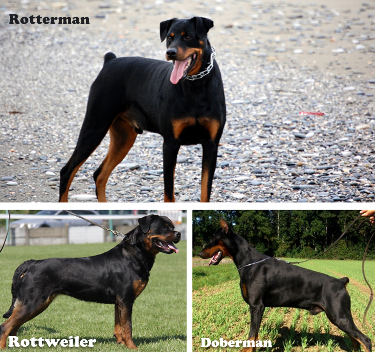 Doberman Pinscher and the Rottweiler mix