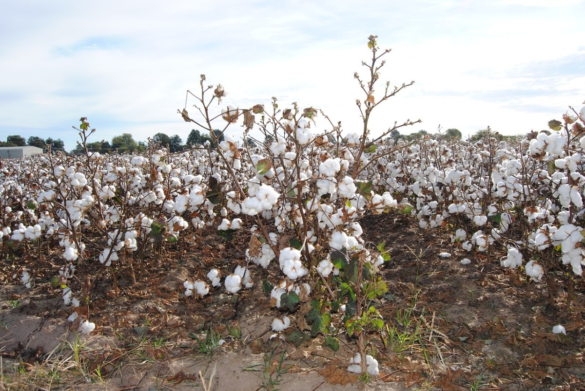 them-old-cotton-field-back-home