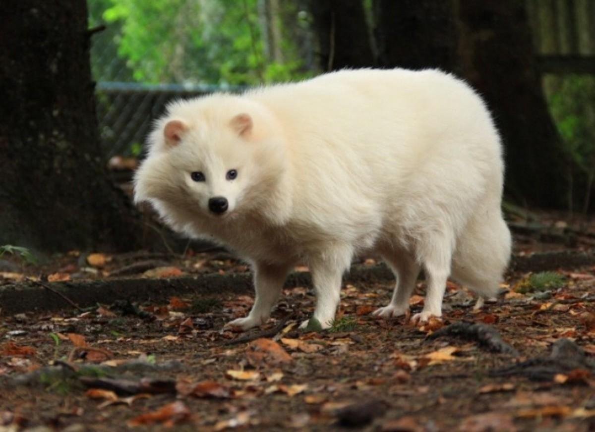 Albino Tanuki (Raccoon Dog)